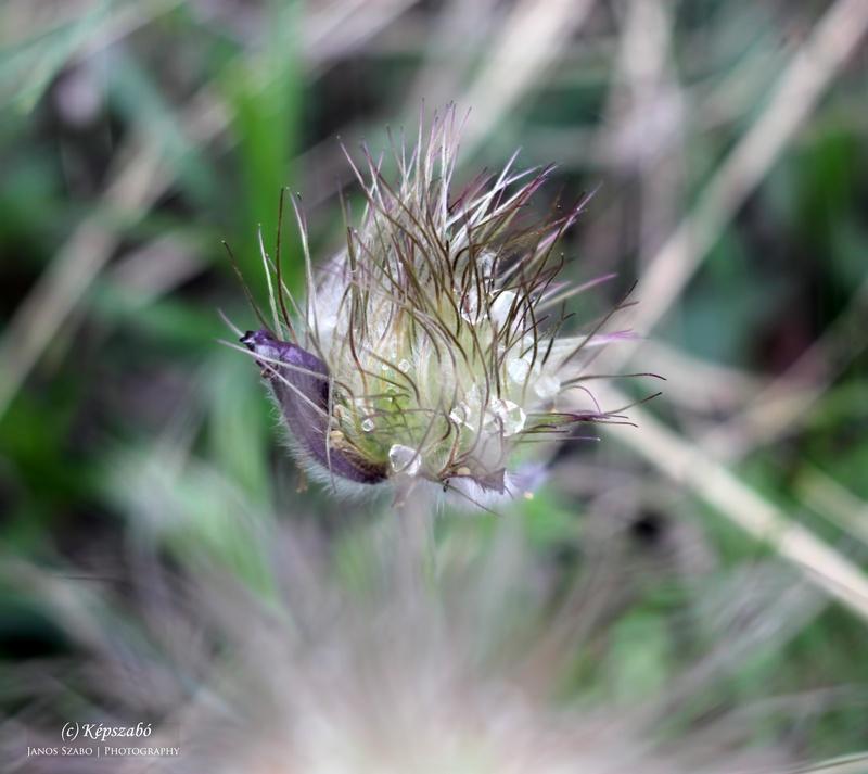 Pulsatilla nigricans ssp. pratensis, Fekete kökörcsin