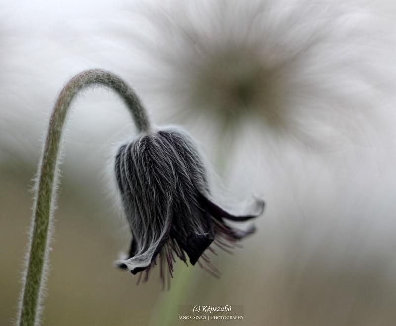 Fekete kökörcsinek virágzás után és közben.
